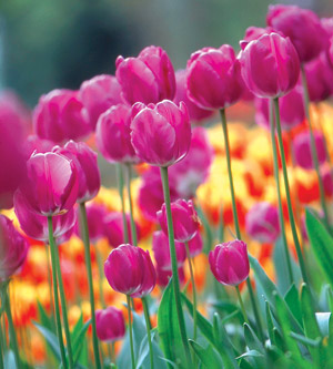 Make Next Spring Gorgeous by Planting Bulbs Now