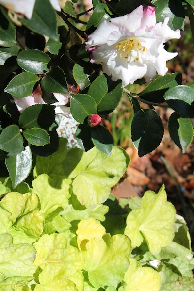 Camellia_sasanqua_October_Inspiration_with_Heuchera_